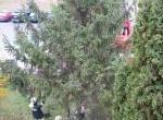 Fenyőfa állítás 02